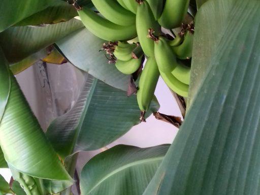 Banánovník v predajni